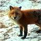 Pappinbarra Fox
