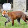 A Navigating Cemetery Fox
