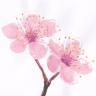 Eris Sakura