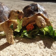 Enrichment: Providing Mental Well-Being for Your Tortoise